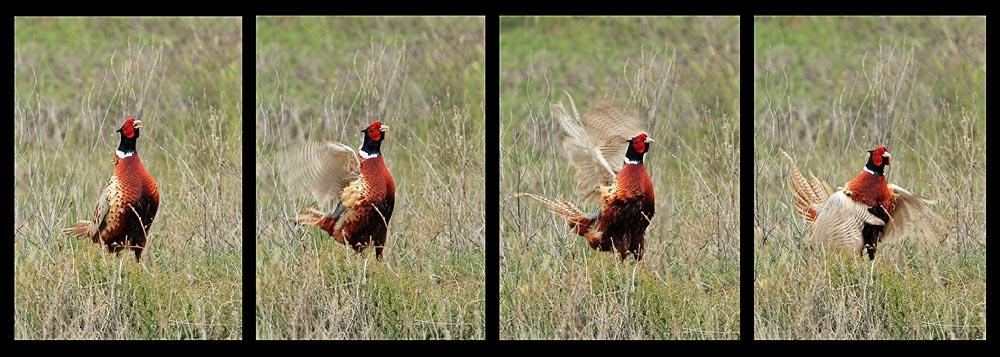 pheasant_strut